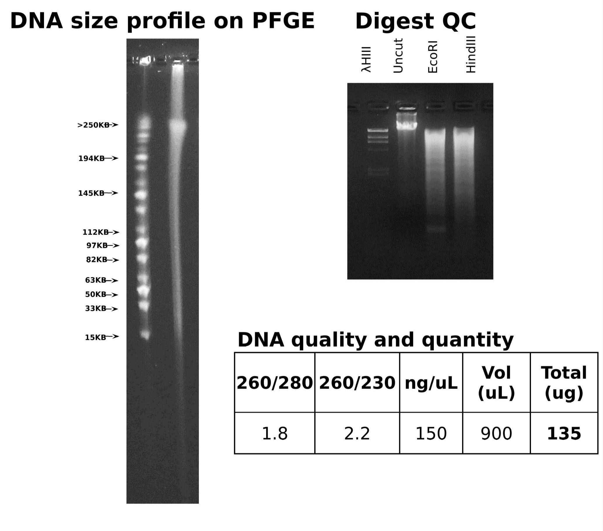 Picture of one of AGI's best QC control gels of HMW DNA