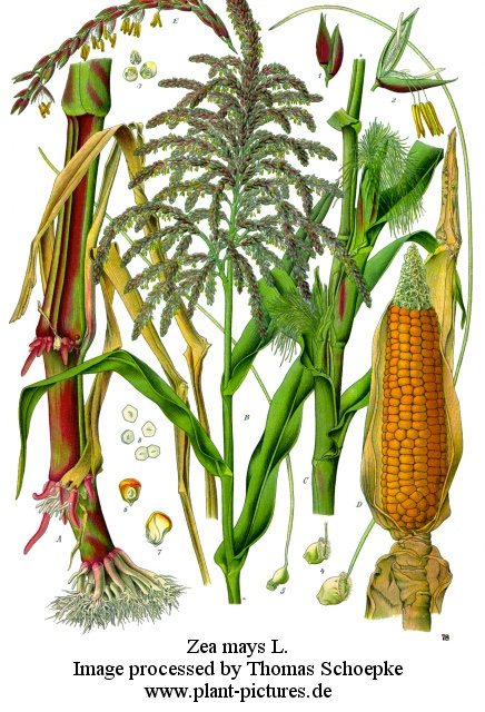 Picture of Zea mays L.