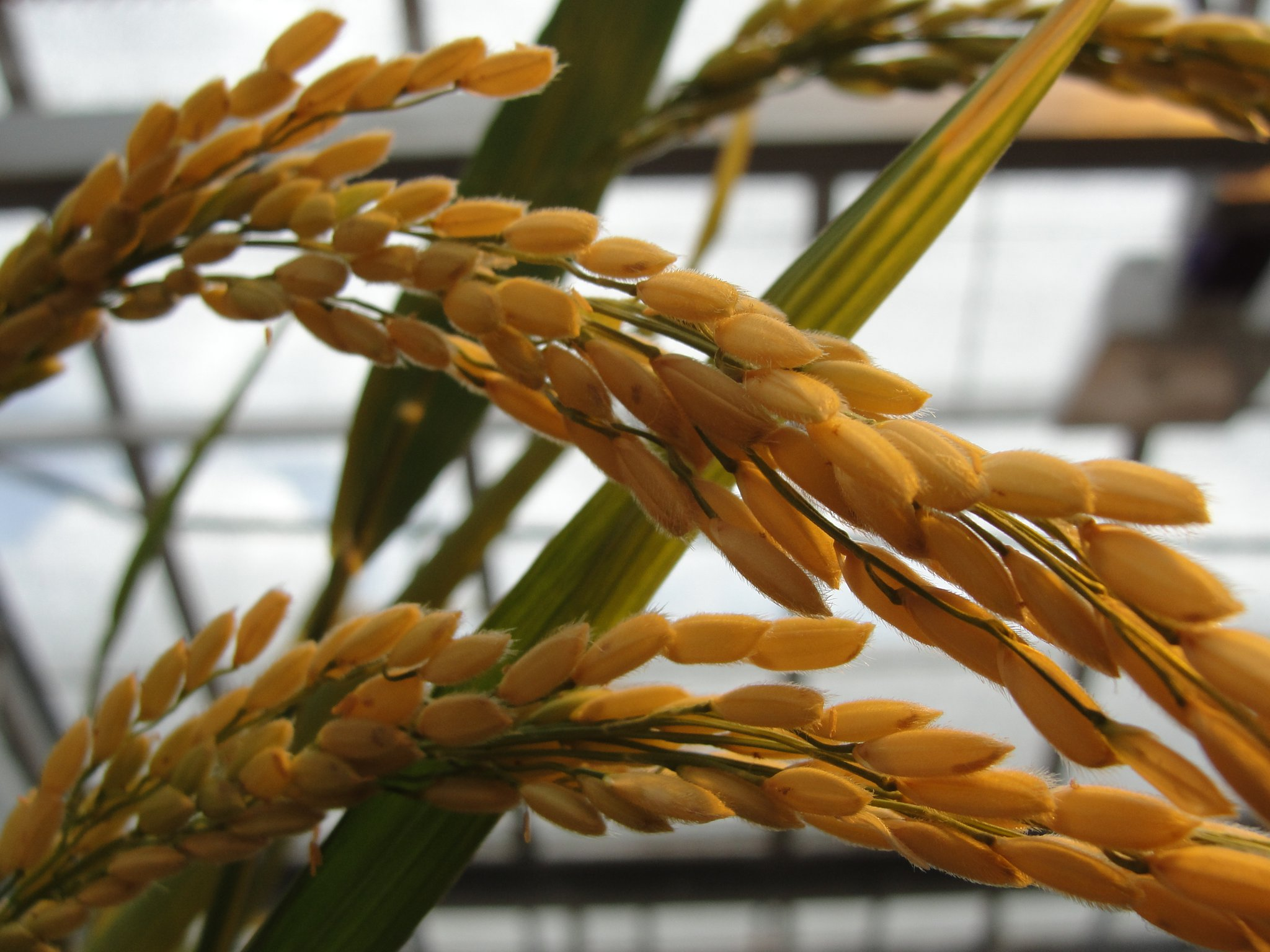 Close-up of growing rice grains